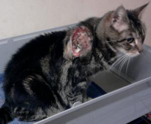 fumée de cigarette,dangers de la cigarette sur les chats ,cancers chez le chat,protéger le chat des dangers de la cigarette,faire garder un chat