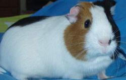 Lagomorphe,adopter un lapin ,cochon d'Inde ,l'alimentation du cochon d'Inde,Adopter un hamster ,animaux nocturnes ,
