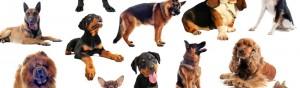 adopter un chien,Adopter un chien de race , Choisir un chien bâtard , choix d'un chien de race