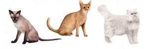 adopter un chat de race, Maine coon, chat de race, d'acheter un chat de gouttière, chat de gouttière,bigarré