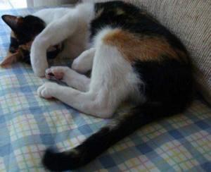 chat en train de dormir ,chats rêvent ,sommeil paradoxal du chat,à quoi rêvent les chats